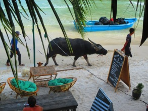 Water buffalo walking in the village